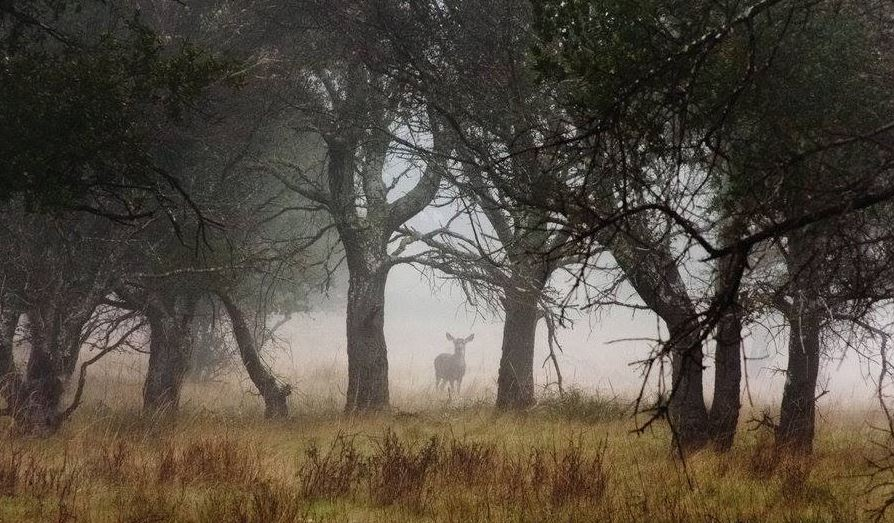 Deer in the forest peering through the mist.